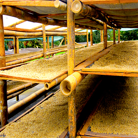 Drying beds spread with coffee beans